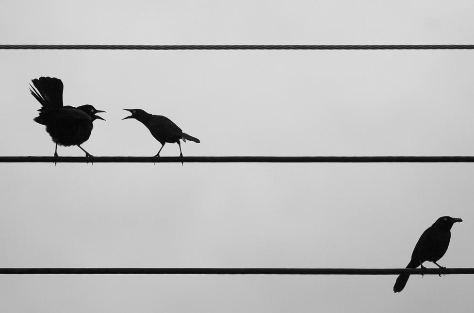 Birds on a wire by TarikB